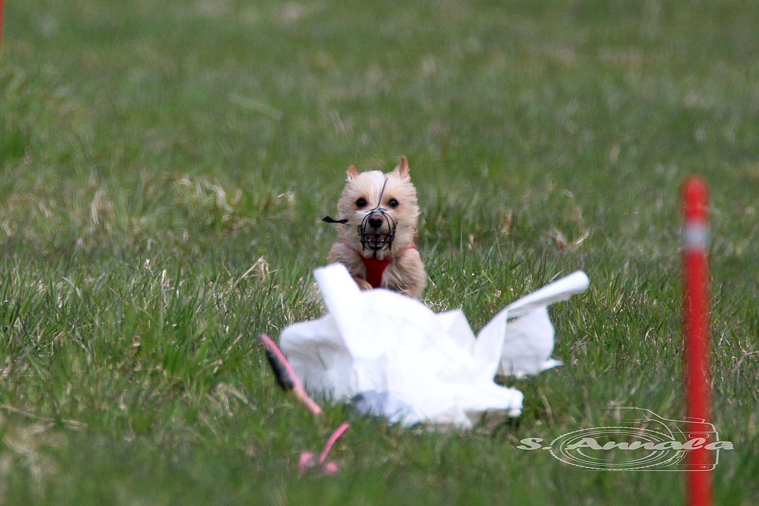 Lure Coursing - Zwip in action
